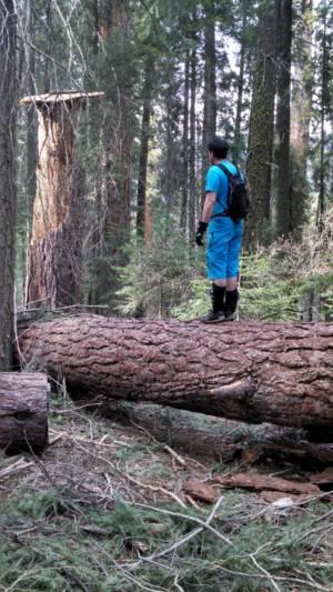 Large Tree Across Trail