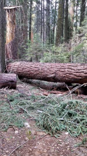 Large Tree Across Trail 2